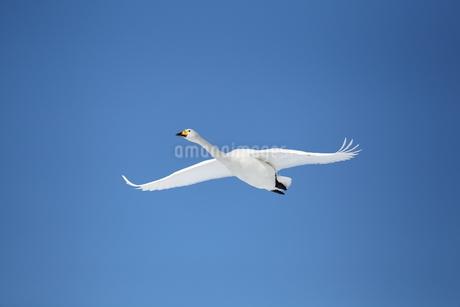 白鳥の写真素材 [FYI03454672]