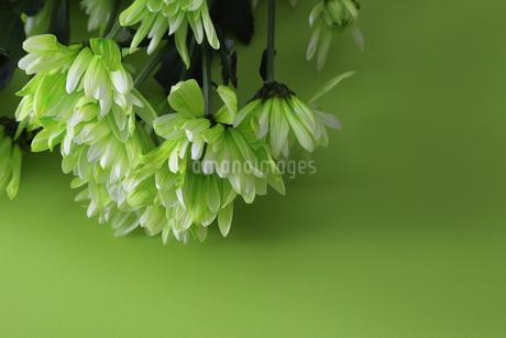 菊の花束の写真素材 [FYI03454965]