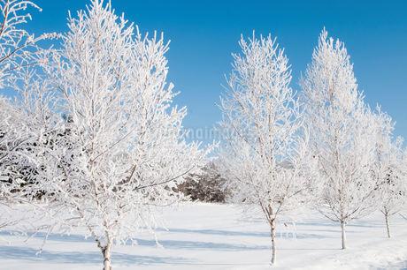 冬の寒い朝の冬木立の写真素材 [FYI03455011]