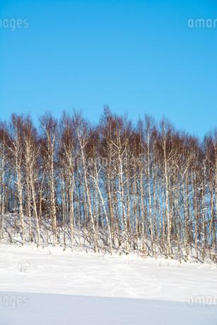 冬のシラカバ林と青空の写真素材 [FYI03455014]