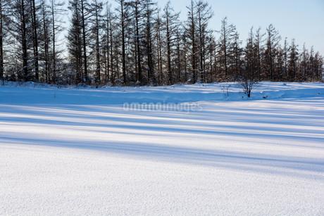 雪原のカラマツ林の影の写真素材 [FYI03455017]