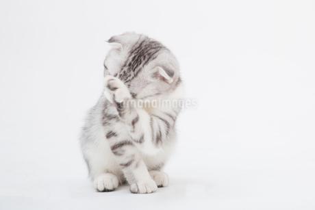 スコティッシュフォールドの赤ちゃんの写真素材 [FYI03455674]