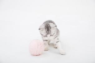 スコティッシュフォールドの赤ちゃんの写真素材 [FYI03455696]