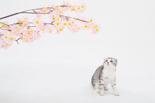 スコティッシュフォールドの赤ちゃんの写真素材 [FYI03455705]
