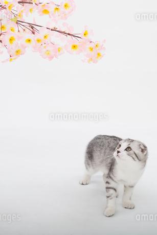 スコティッシュフォールドの赤ちゃんの写真素材 [FYI03455707]