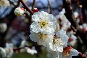 大阪城梅林公園,梅の花,古城の写真素材 [FYI03456098]