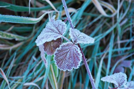朝の霜と雑草の写真素材 [FYI03456124]