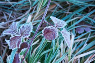 朝の霜と雑草の写真素材 [FYI03456125]