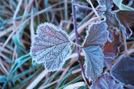 朝の霜と雑草の写真素材 [FYI03456126]