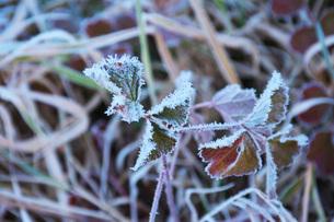 朝の霜と雑草の写真素材 [FYI03456128]