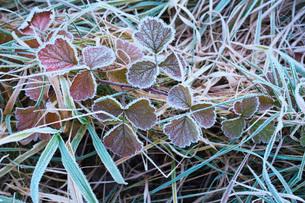 朝の霜と雑草の写真素材 [FYI03456129]