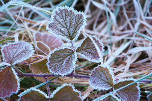 朝の霜と雑草の写真素材 [FYI03456130]