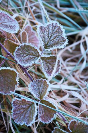 朝の霜と雑草の写真素材 [FYI03456131]