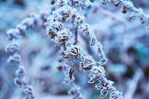 朝の霜と雑草の写真素材 [FYI03456132]