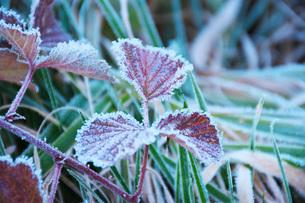 朝の霜と雑草の写真素材 [FYI03456133]