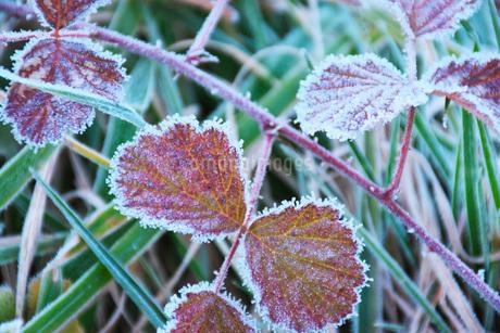朝の霜と雑草の写真素材 [FYI03456135]