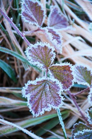 朝の霜と雑草の写真素材 [FYI03456136]