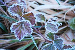 朝の霜と雑草の写真素材 [FYI03456137]