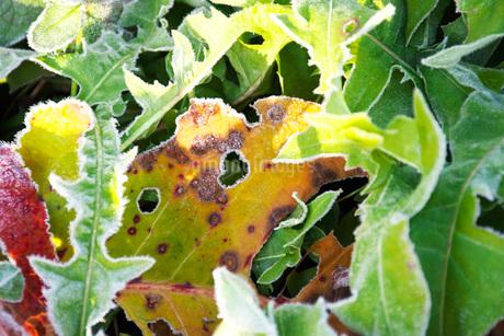 朝の霜と雑草と落ち葉の写真素材 [FYI03456139]