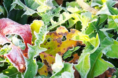 朝の霜と雑草と落ち葉の写真素材 [FYI03456140]