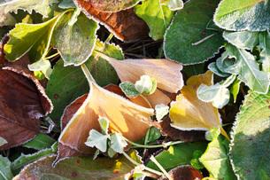 朝の霜と雑草と落ち葉の写真素材 [FYI03456142]