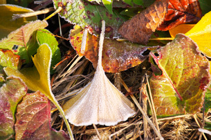 朝の霜と雑草と落ち葉の写真素材 [FYI03456144]