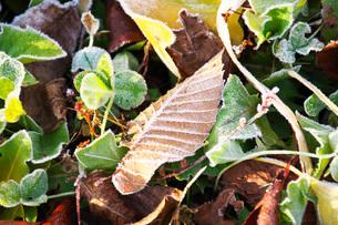 朝の霜と雑草と落ち葉の写真素材 [FYI03456146]