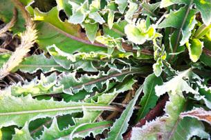 朝の霜と雑草の写真素材 [FYI03456148]
