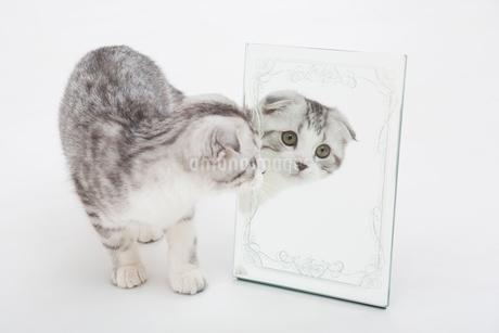 スコティッシュフォールドの赤ちゃんの写真素材 [FYI03456155]