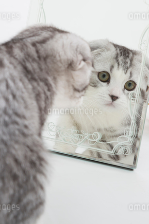 スコティッシュフォールドの赤ちゃんの写真素材 [FYI03456167]
