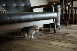 スコティッシュフォールドの赤ちゃんの写真素材 [FYI03456183]