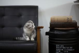 スコティッシュフォールドの赤ちゃんの写真素材 [FYI03456195]