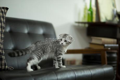スコティッシュフォールドの赤ちゃんの写真素材 [FYI03456197]