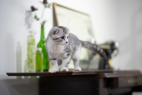 スコティッシュフォールドの赤ちゃんの写真素材 [FYI03456209]