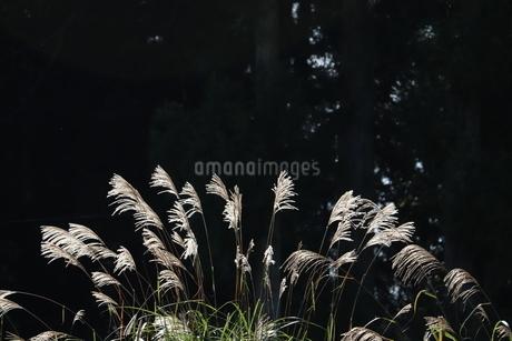 ススキの写真素材 [FYI03456298]