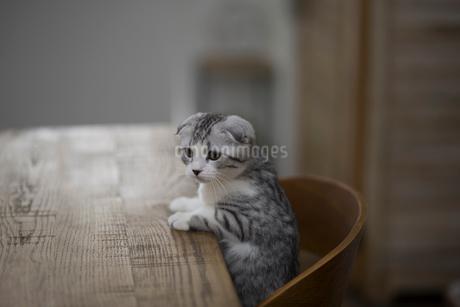 スコティッシュフォールドの赤ちゃんの写真素材 [FYI03456337]