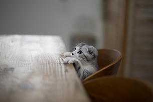 スコティッシュフォールドの赤ちゃんの写真素材 [FYI03456338]