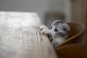 スコティッシュフォールドの赤ちゃんの写真素材 [FYI03456340]