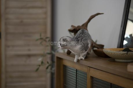 スコティッシュフォールドの赤ちゃんの写真素材 [FYI03456359]