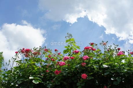 薔薇の写真素材 [FYI03456411]
