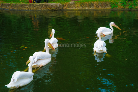 ペリカンのイメージ(シンガポール動物園)の写真素材 [FYI03456593]