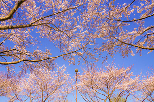 満開の桜と晴天の青空(調布飛行場)の写真素材 [FYI03456599]