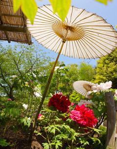 和傘・牡丹がある風景の写真素材 [FYI03456652]