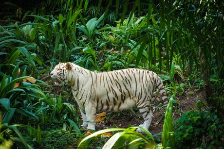 ジャングルに佇むホワイトタイガーの写真素材 [FYI03456703]