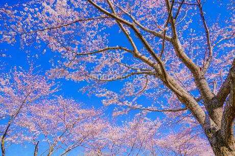 満開の桜と晴天の青空(調布飛行場)の写真素材 [FYI03456721]