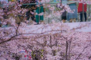 満開の桜と橋の上から見物する人々の写真素材 [FYI03456776]