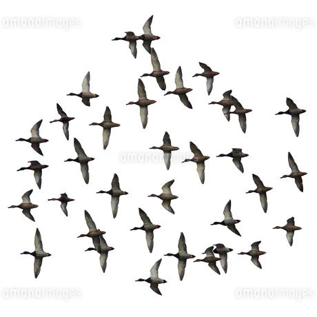 飛翔するカモの群れの切抜き画像の写真素材 [FYI03456886]