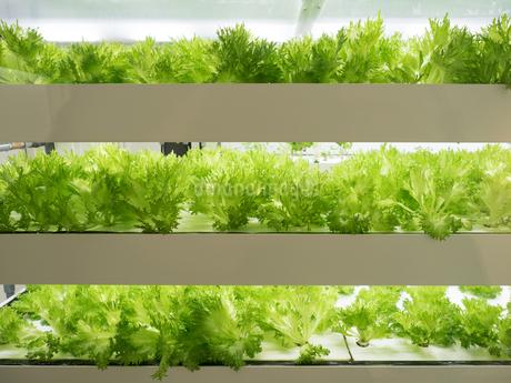 野菜工場 レタスの栽培の写真素材 [FYI03456904]