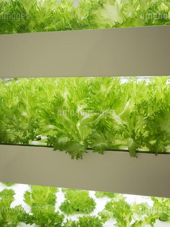 野菜工場 レタスの栽培の写真素材 [FYI03456905]