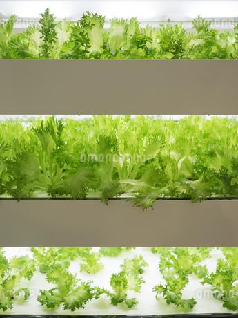 野菜工場 レタスの栽培の写真素材 [FYI03456906]